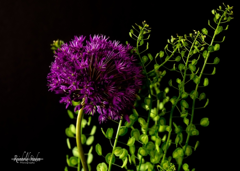 Ornamental Onion by Reinhold Staden