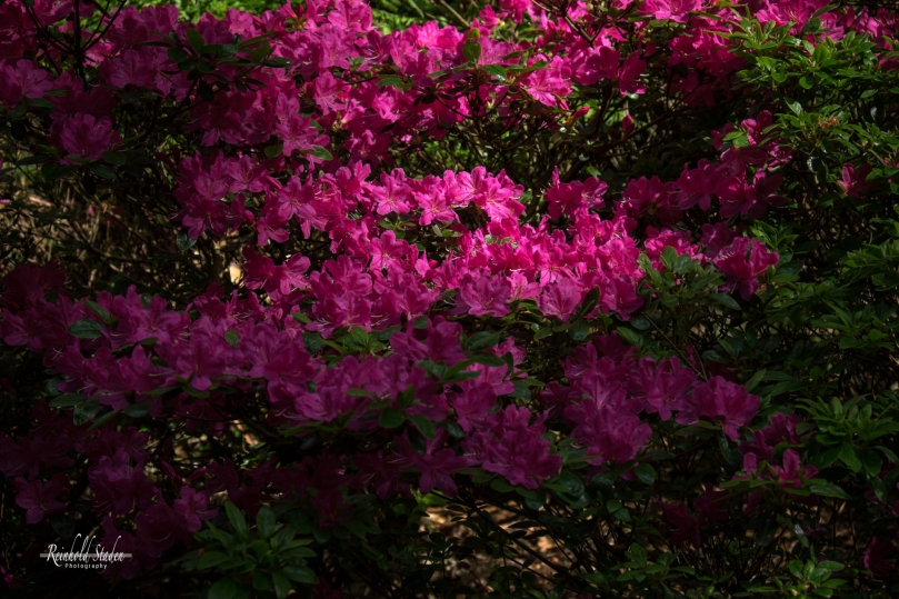 Rhododendron Park Gristede by Reinhold Staden