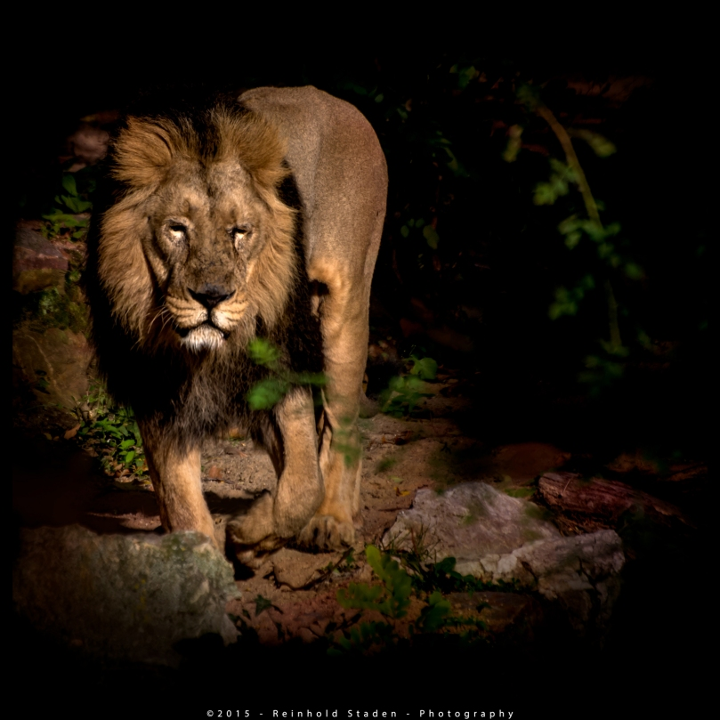The Lion King by Reinhold Staden