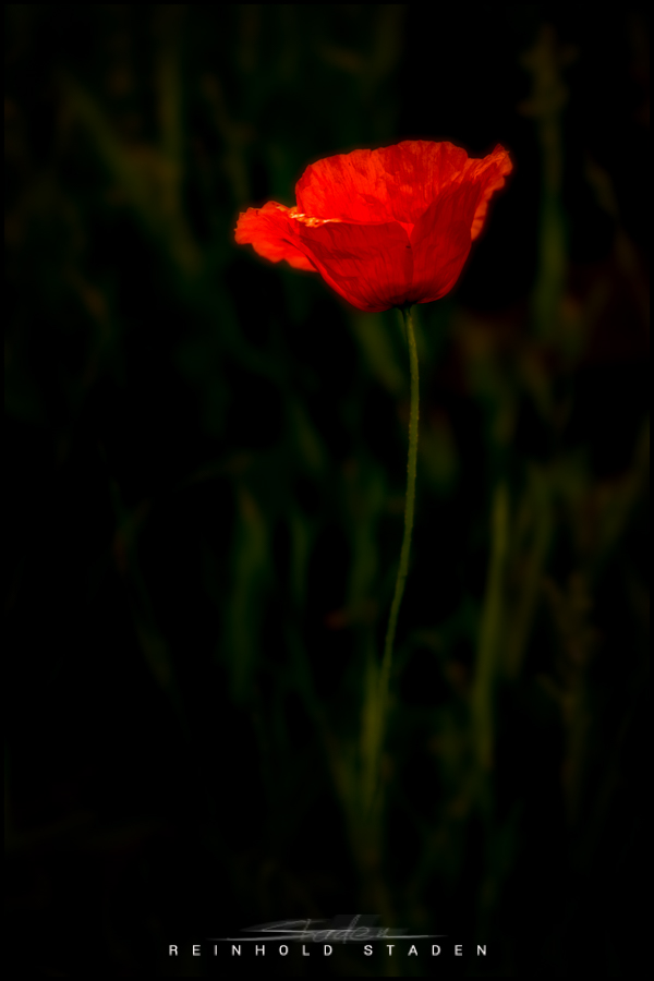 RSP - Reinhold Staden Photography - Poppies