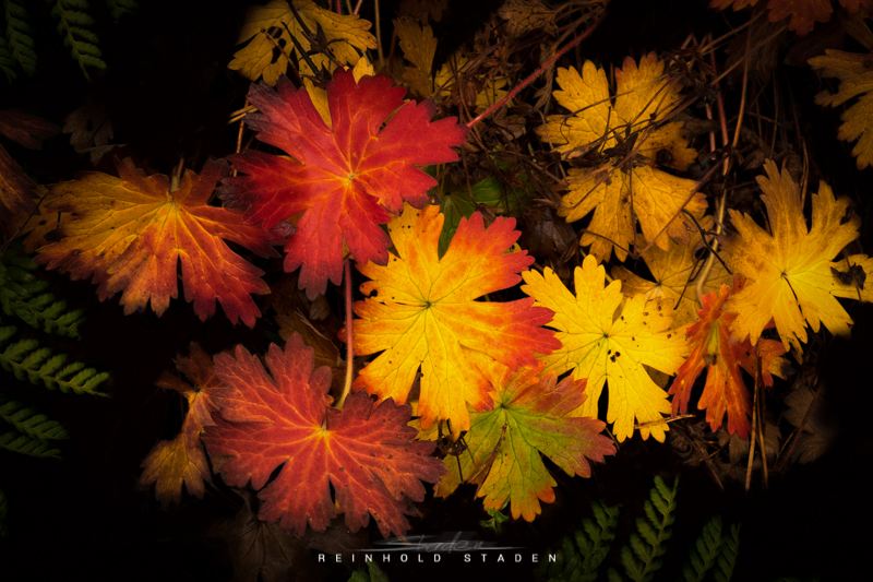 RSP - Reinhold Staden Photography - Autumn Leaves